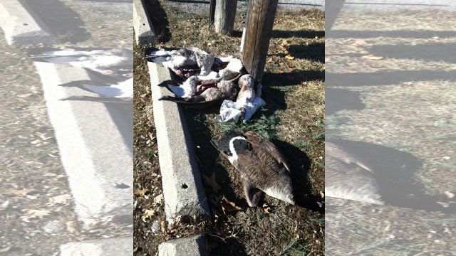 When a KCTV5 viewer came across several dead geese piled together near a trash can she became alarmed and called Wyandotte County deputies. (Submitted photo)