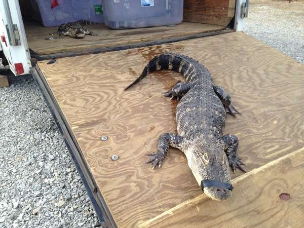 A car pulling a trailer full of alligators crashes in Cape Girardeau but apparently the reptiles never posed a threat to anyone. (Source: Mike Mohundro, Heartland News multimedia journalist)