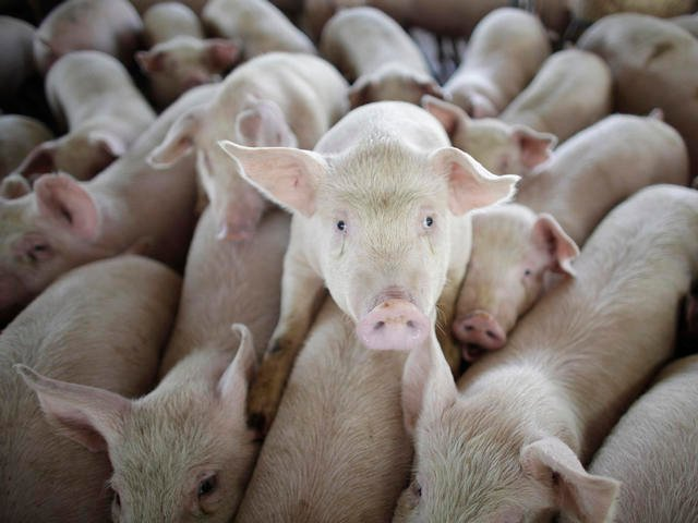 A fast-spreading virus that can kill 80 percent of the piglets that contract it is rapidly spreading across Missouri hog farms and is expected to cause an increase in pork prices this summer.