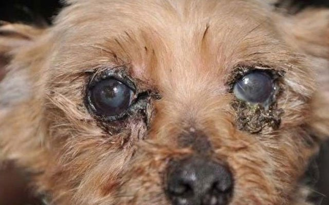 USDA inspectors photographed a Yorkie with an eye disorder at a facility owned by Andy Troyer in Fredericksburg, Ohio, in 2011 after the operator repeatedly failed to get adequate treatment for the dog. (Humane Society)