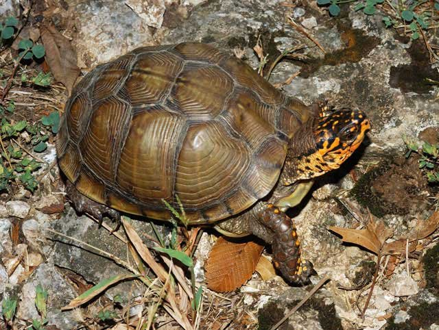 A Missouri expert is warning motorists they may encounter a slew of box turtles on roadways in the coming weeks.