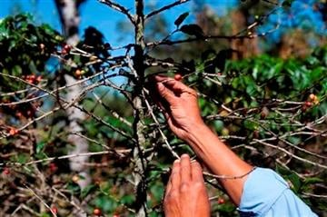 (AP Photo/Moises Castillo, File). FILE - In this Feb. 9, 2013, file photo, small coffee producer Hector Perez show coffee beans damaged by the roya fungus in San Gaspar Vivar, Guatemala.