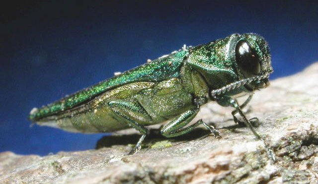 The emerald ash borer has eaten away at trees in Platte County for at least eight years and quickly spread throughout the Kansas City area. (Associated Press)