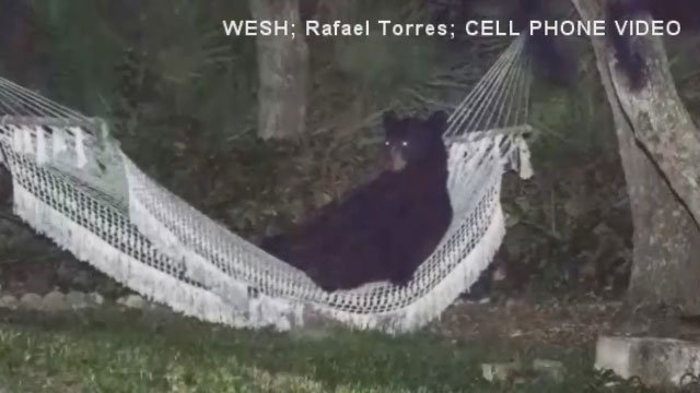 The bear stayed in the hammock for about 20 minutes, said photographer Rafael Torres, who snapped pictures of the bear from 60 feet away. Torres' presence did not seem to disturb the wild animal's repose.