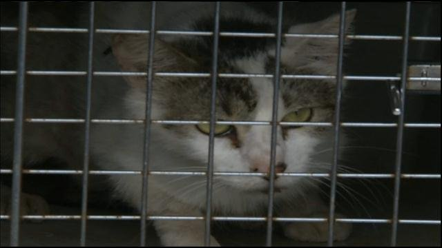 Cat at KC Pet Project that was removed from hoarding situation in the Northland.