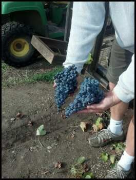 Grapes from Michael Amigoni's vineyards