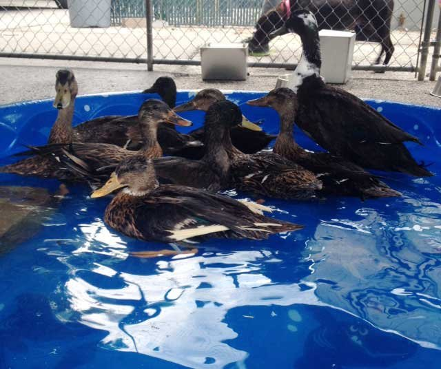 Confiscated ducks in kiddie pool at KC animal shelter.