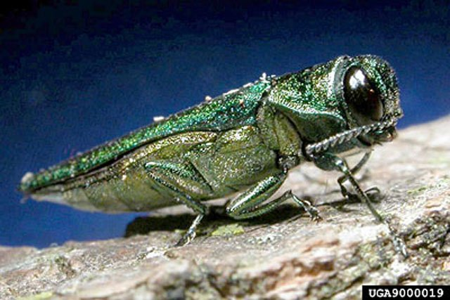 A metro city with thousands of trees will soon chop down hundreds to prevent an emerald ash borer infestation.
