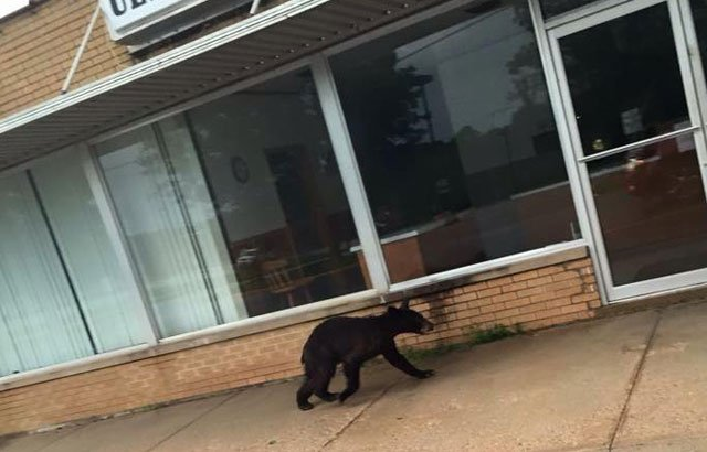 Residents in the mid-Missouri town of Fulton are still buzzing after a black bear wandered into downtown, and they're wondering if he'll show up again. (Ethan Livengood/Facebook)
