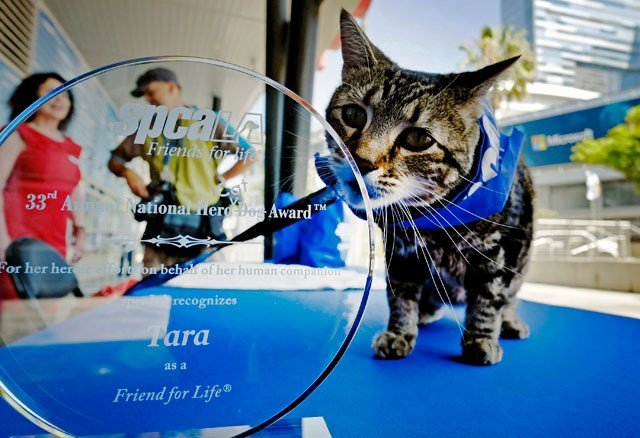 Tara, a 7-year-old adopted cat poses for a photo with her award prior to being presented with the 33rd Annual National Hero Dog Award in Los Angeles, Friday, June 19, 2015. (AP Photo/Richard Vogel)