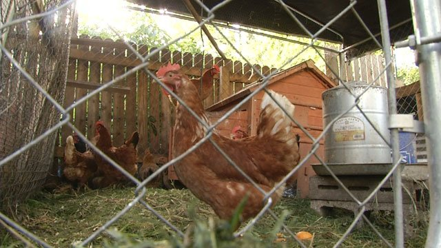 The sound of chickens and ducks is not what most people would expect to hear in one of the city's historic neighborhoods.  But that's the sound resonating from backyards, thanks to the growing popularity of urban farms.
