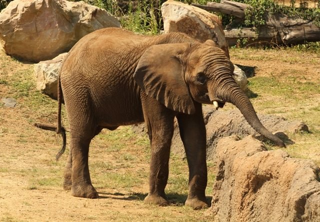 Tamani weighs in at close to 6,000 pounds. He currently resides with three other bull elephants at the Birmingham Zoo in Alabama.